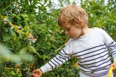 Arándano de la cosecha del niño pequeño en granja orgánica de la selección del uno mismo Imagenes de archivo