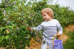 Arándano de la cosecha del niño pequeño en granja orgánica de la selección del uno mismo Imagen de archivo libre de regalías