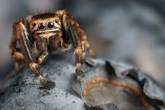 Arándano del Vaccinium y araña de salto Fotografía de archivo libre de regalías