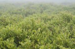 Arándano en bosque Fotos de archivo