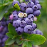 Arándanos, arbusto de arándano Imagen de archivo libre de regalías