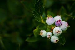 Arándanos de florecimiento Imágenes de archivo libres de regalías
