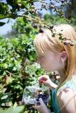 Arándanos de la cosecha Fotografía de archivo libre de regalías