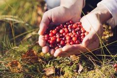 Arándanos de la cosecha del hombre en el bosque Fotografía de archivo