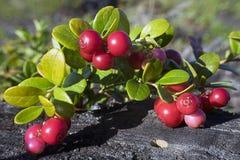 Arándanos de las uvas Fotos de archivo libres de regalías