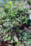 arándanos del arbusto en el bosque Imagen de archivo