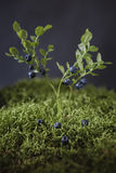 Arándanos en arbustos de bayas Fotos de archivo