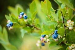 Arándanos en un arbusto en el jardín Diversos grados de bayas de maduración Fotografía de archivo libre de regalías