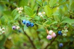 Arándanos en un arbusto en el jardín Diversos grados de bayas de maduración Imagenes de archivo