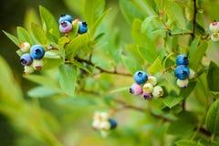 Arándanos en un arbusto en el jardín Diversos grados de bayas de maduración Foto de archivo