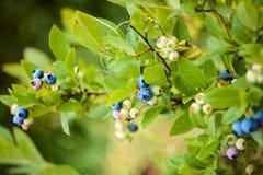 Arándanos en un arbusto en el jardín Diversos grados de bayas de maduración Imágenes de archivo libres de regalías