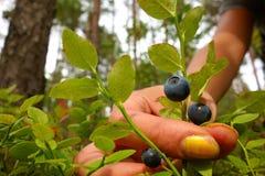Arándanos femeninos de la cosecha de la mano en el bosque Fotografía de archivo
