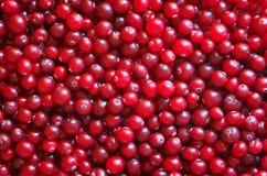 Arándanos maduros rojos. Foto de archivo