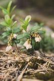 Arándanos pequeños y rosados en la primavera Foto de archivo libre de regalías