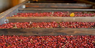 Arándanos rojos Foto de archivo libre de regalías