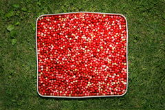 Arándanos rojos en hierba Fotografía de archivo libre de regalías