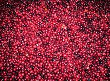 Arándanos rojos frescos foto de archivo libre de regalías