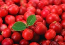 Arándanos rojos maduros Imagen de archivo