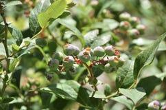 Arándanos salvajes verdes Foto de archivo