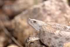 arête flairée neuve de serpent à sonnettes du Mexique Photographie stock libre de droits