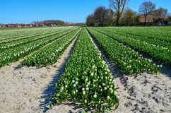 Żarówka stanu tulipan odpowiada kwitnienie Obraz Royalty Free
