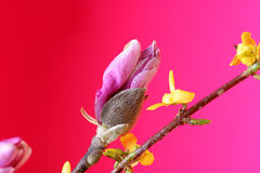 żarówki magnolia Obraz Stock
