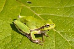 ar żaby zieleni hyla liść drzewo Zdjęcia Stock