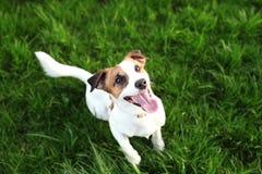 Ar livre do cão de Jack Russell Terrier do puro-sangue na natureza na grama em um dia de verão O cão feliz senta-se no parque fotos de stock royalty free