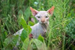 Ar livre do gato de Sphynx foto de stock royalty free