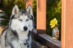 Ar livre ronco Siberian bonito, quintal, summerhouse, hora dourada imagens de stock
