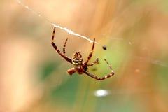 Araña Fotos de archivo libres de regalías