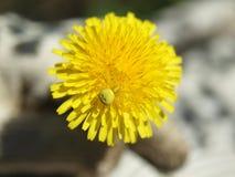Araña amarilla Fotografía de archivo