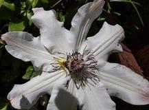 Araña amarilla brillante en la flor blanca de la pasionaria fotografía de archivo