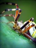 Araña amarilla (bruennichi del Argiope) Imagen de archivo