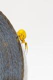 Araña amarilla del cangrejo en el rollo de la cinta Fotos de archivo