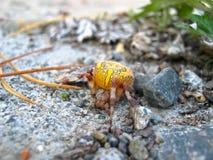 Araña amarilla en el lago Baikal Foto de archivo
