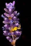 Araña amarilla en la lavanda Imágenes de archivo libres de regalías
