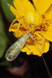 Araña amarilla oscura con la presa del Lacewing imagenes de archivo