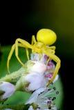 Araña amarilla oscura del cangrejo Imágenes de archivo libres de regalías