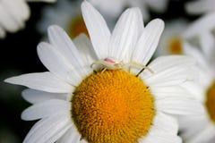 Araña amarilla oscura del cangrejo Imagen de archivo
