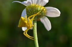 Araña amarilla oscura del cangrejo (Misumena Vatia) 2 Foto de archivo libre de regalías