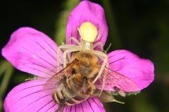 Araña amarilla oscura del cangrejo (vatia de Misumena) Imágenes de archivo libres de regalías