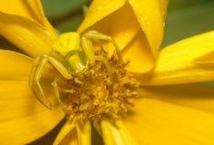 Araña amarilla oscura en la flor amarilla Fotos de archivo libres de regalías