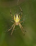 Araña amarilla rayada en un web Imagenes de archivo