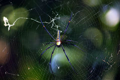 Araña amarilla y negra Imagenes de archivo