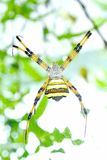 araña Amarillo-negra Imágenes de archivo libres de regalías