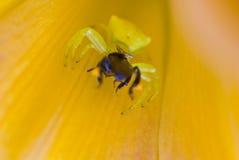 Araña anaranjada del cangrejo Imagen de archivo