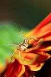 Araña anaranjada del lince Fotos de archivo libres de regalías