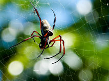 Araña (antipodiana de Nephila) imagenes de archivo
