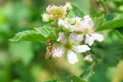 Araña-apoyado, o nesravnennoe apoyado o lat del araña-cangrejo Thomisidae cogió un lat de la abeja Anthophila y frui grande del j Imagenes de archivo